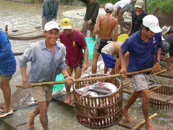 Giá cá tra ĐBSCL tăng cao kỷ lục ảnh 2