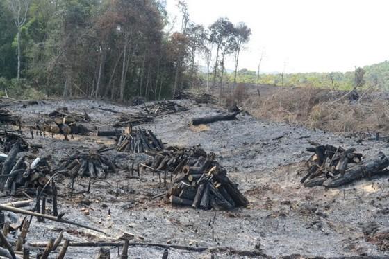 Kỷ luật chủ tịch công ty lâm nghiệp để mất rừng ảnh 1