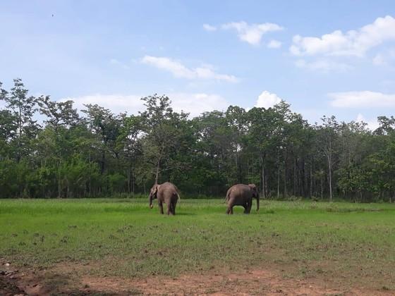 Hai chú voi nhà được đưa về rừng tự nhiên ảnh 1