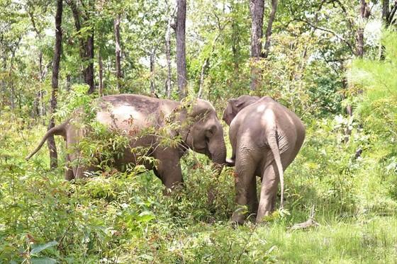 Hai chú voi nhà được đưa về rừng tự nhiên ảnh 2