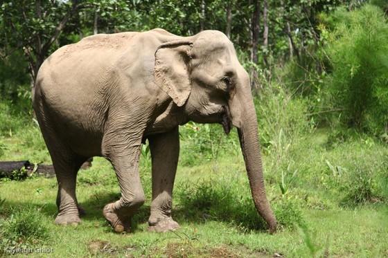 Hai chú voi nhà được đưa về rừng tự nhiên ảnh 3