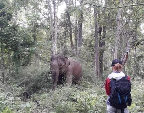Hai chú voi nhà được đưa về rừng tự nhiên ảnh 4