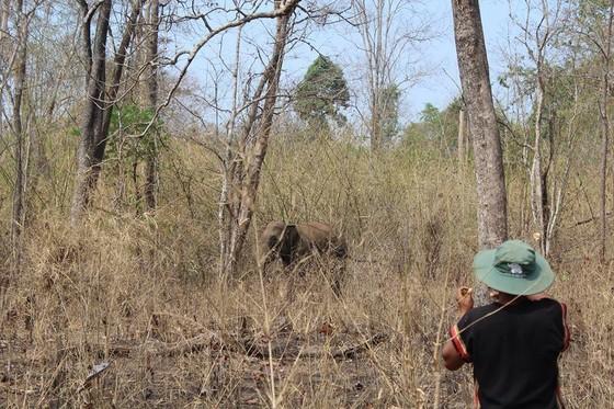 Hai chú voi nhà được đưa về rừng tự nhiên ảnh 5