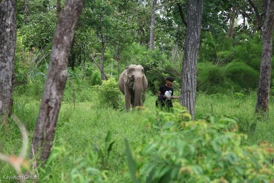 Hai chú voi nhà được đưa về rừng tự nhiên ảnh 6