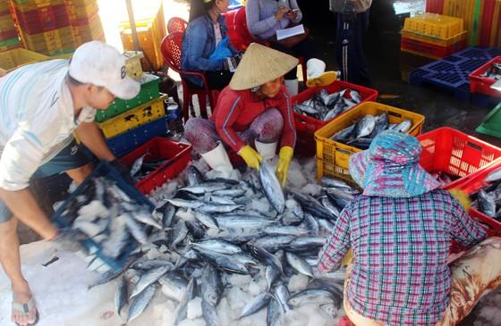 Ngư dân Bình Định trúng đậm cá ngừ, thu về tiền tỷ ảnh 3