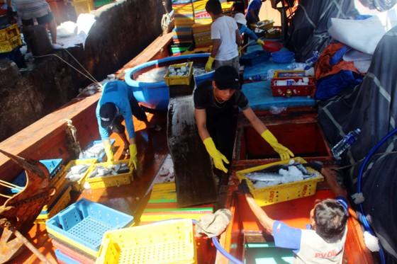 Ngư dân Bình Định trúng đậm cá ngừ, thu về tiền tỷ ảnh 1