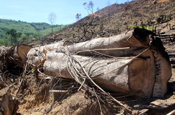 Bắt nghi phạm chủ mưu vụ phá 61ha rừng tự nhiên ở Bình Định ảnh 2