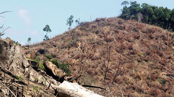 """Hoãn xét xử """"đại án"""" phá rừng quy mô lớn nhất Bình Định ảnh 1"""