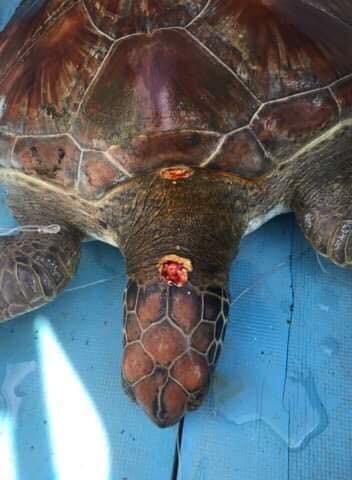 Nội soi gắp rác thải trong bụng rùa biển ảnh 1
