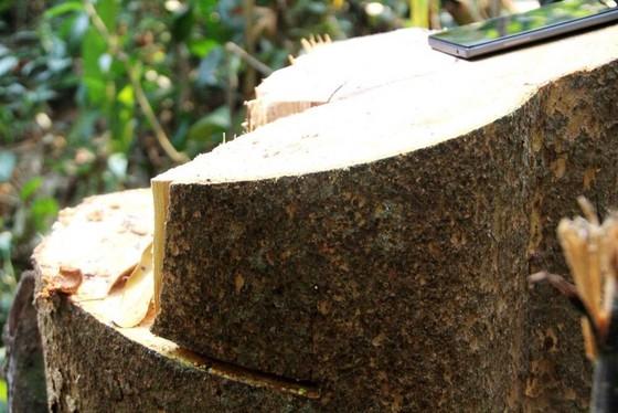 Hơn 20 cây gỗ lớn bị đốn hạ tại rừng phòng hộ Sông Tranh ảnh 1