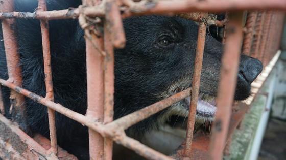 Tiền Giang chuyển giao 5 cá thể gấu tới Vườn Quốc gia Tam Đảo ảnh 2