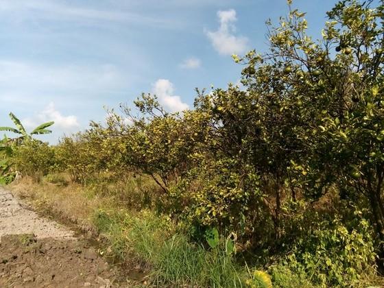 Hơn 2.000 ha cây có múi bị chết vàng, chết xanh  ảnh 2