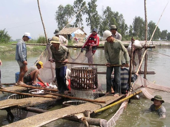 Giá cá tra bất ngờ giảm mạnh  ảnh 1