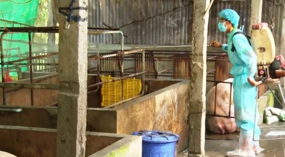 Tả heo châu Phi: Thêm Kiên Giang xuất hiện dịch, Đồng Tháp họp khẩn ứng phó ảnh 1
