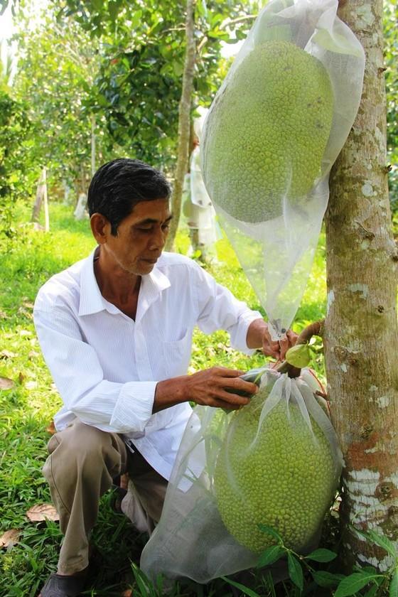 Cảnh báo ùn ùn trồng mít Thái xuất sang Trung Quốc ảnh 1