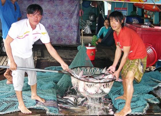ĐBSCL: Giá cá tra giảm, người nuôi lỗ nặng  ảnh 2