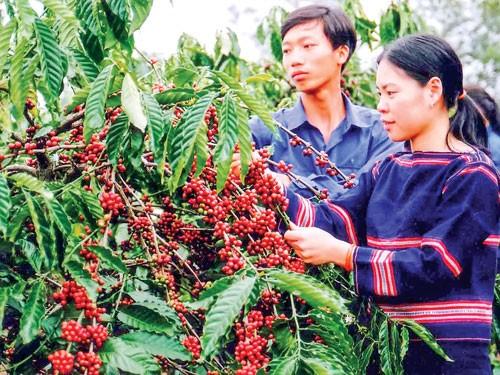 Agribank Tiên phong hỗ trợ tái canh cà phê Tây nguyên ảnh 1