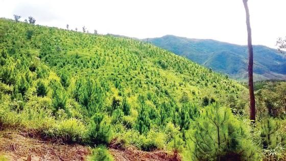 Công ty TNHH MTV Lâm nghiệp Kon Rẫy: Tập trung trồng và chăm sóc rừng trồng ảnh 1