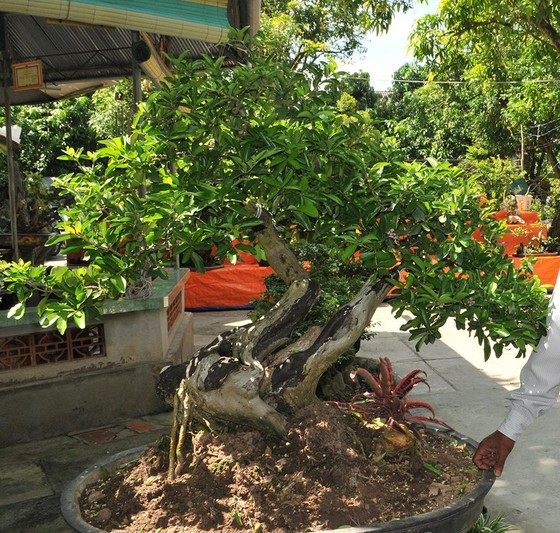 Đồng Tháp: Xoài bonsai cho lợi nhuận cao ảnh 2