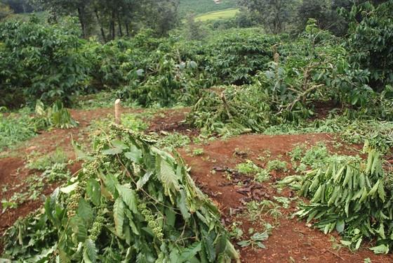 Gia Lai: Khốn khổ vì bị kẻ gian nhổ, chặt trụi gần 280 cây cà phê ảnh 1