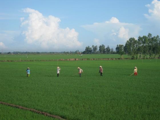 ĐBSCL: Hơn 30.700 ha lúa bị nhiễm bệnh muỗi hành ảnh 1
