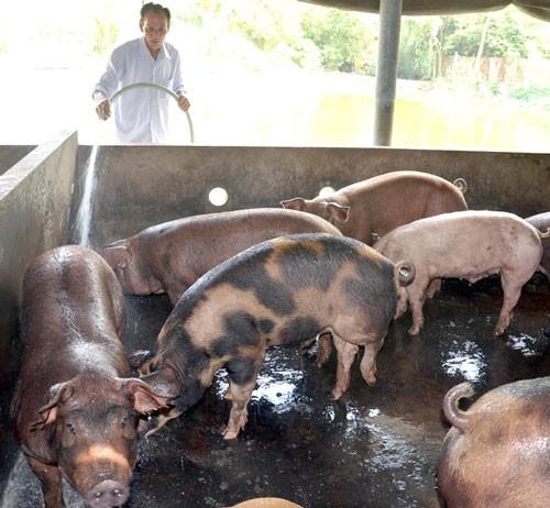 Heo thịt tồn ứ khắp Đồng bằng Sông Cửu Long ảnh 1