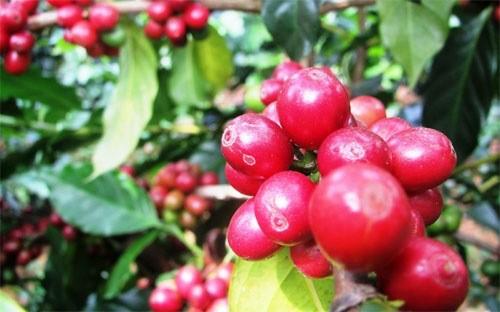 Nhìn lại niên vụ cà phê 2012-2013 ảnh 1