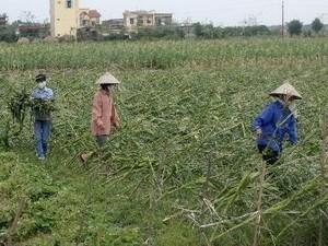 """Bảo hiểm nông nghiệp: Vượt khó """"về đích"""" ảnh 1"""
