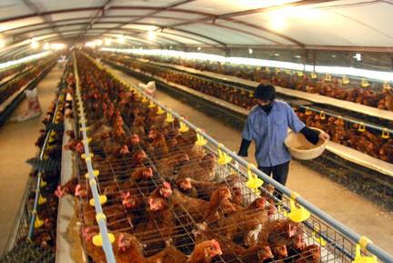 Ngành chăn nuôi chịu tác động khi tham gia TPP ảnh 1