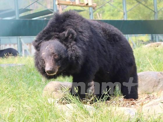 Cuộc sống cùng cực những con gấu ở Tam Đảo ảnh 3