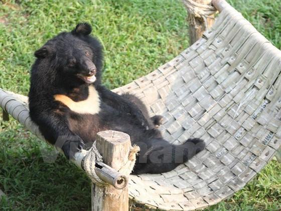 Cuộc sống cùng cực những con gấu ở Tam Đảo ảnh 2