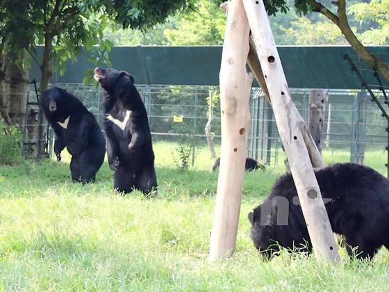 Cuộc sống cùng cực những con gấu ở Tam Đảo ảnh 1