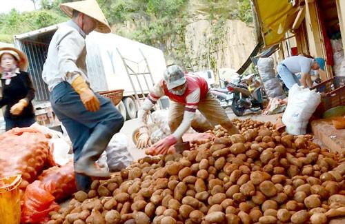 Cấm nhập khoai tây Trung Quốc về chợ nông sản Đà Lạt ảnh 2