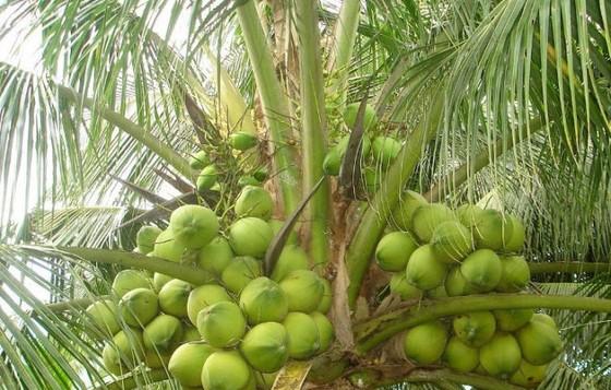 Không đồng ý trồng dừa trên đường phố TPHCM ảnh 1