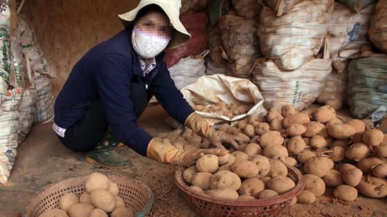 Lý do cấm khoai tây Trung Quốc ảnh 1