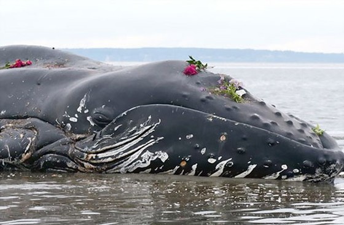 300 con cá voi chết dạt bờ biển Chile ảnh 1