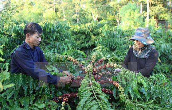 Giải pháp nào tăng chuỗi giá trị cà phê? ảnh 1