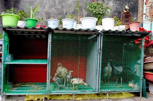 Quay lại thời nuôi gà trên nóc nhà ảnh 2