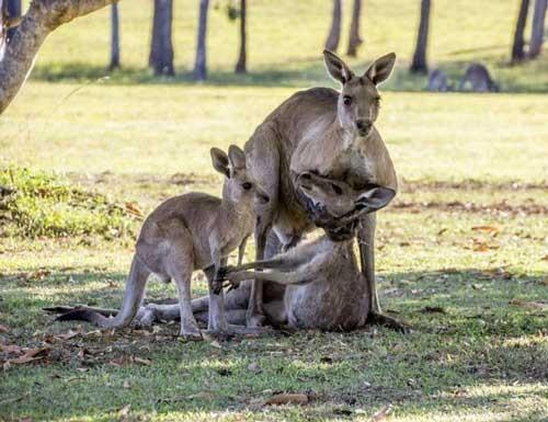 Tình mẫu tử của kangaroo gây xúc động ảnh 1