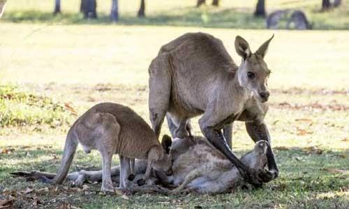 Tình mẫu tử của kangaroo gây xúc động ảnh 2