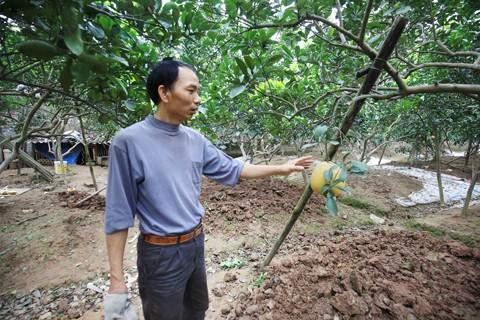 Hà Nội: Người trồng lo thiếu bưởi Diễn bán ảnh 1