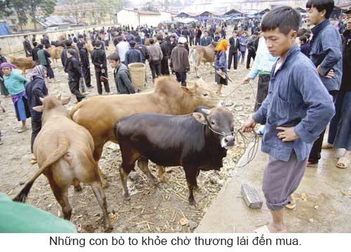 Độc đáo chợ bò Mèo Vạc ảnh 4