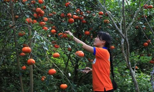 Kiếm tiền tỷ từ trồng cam sạch vùng cao ảnh 1