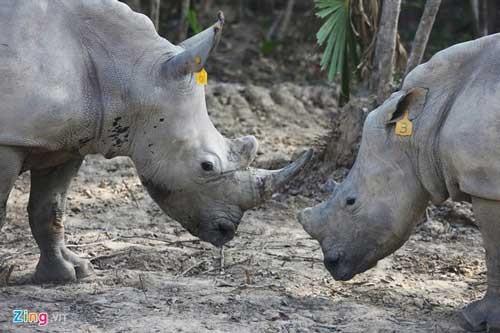 Việt Nam nhập 40 tê giác, 3 con đã chết ảnh 1