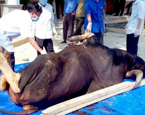 Thêm con bò tót nặng 800kg chết tại Đồng Nai ảnh 1