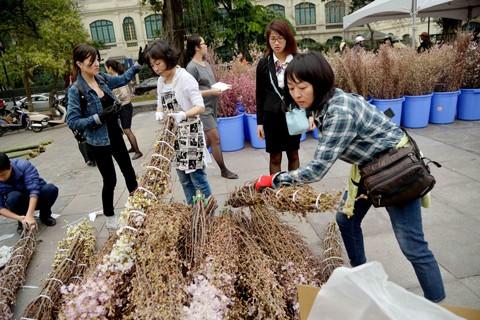 Hà Nội: Cận cảnh ngắm hoa anh đào Nhật Bản ảnh 1