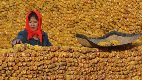 20 triệu tấn ngô bẩn Trung Quốc sẽ xuất khẩu? ảnh 1