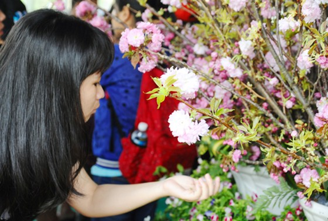 TPHCM háo hức ngắm hoa anh đào ảnh 1