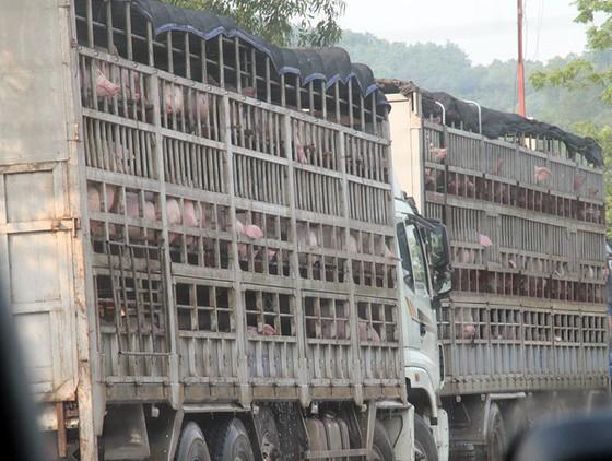 Heo rớt giá thảm tại cửa khẩu Trung Quốc ảnh 1