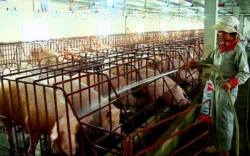 Ồ ạt nuôi lợn xuất TQ: Biết rủi ro vẫn làm ảnh 1